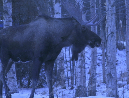 Big Moose2