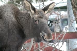Loose moose-1