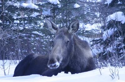 Moose23