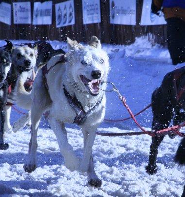 2-27 Sled dog.jpg