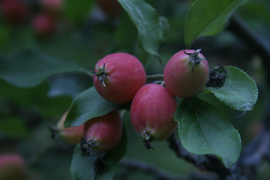 applesred