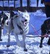 2-27-sled-dog-jpg